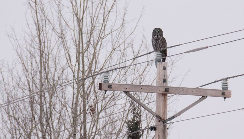 Great Gray Owl sitting on a power pole